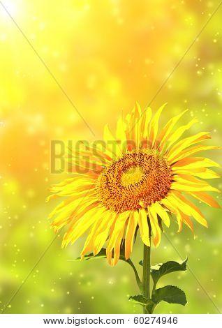 Bright yellow sunflower and sun