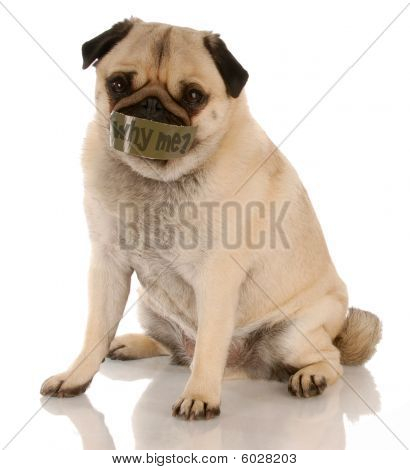 Pug With Tape On Mouth Why Me