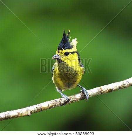 Female Yellow-cheeked Tit