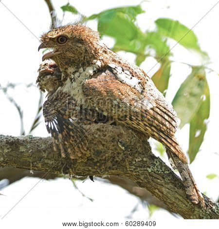 Hodgson's Frogmouth Bird