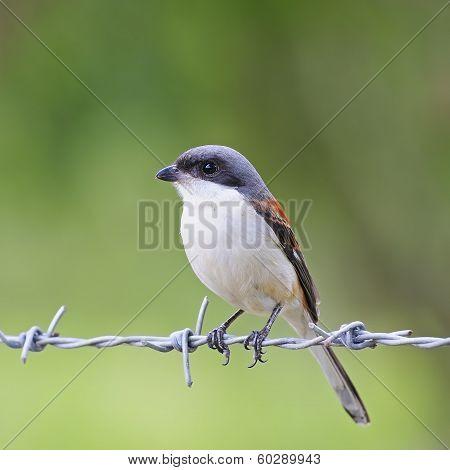 Burmese Shrike