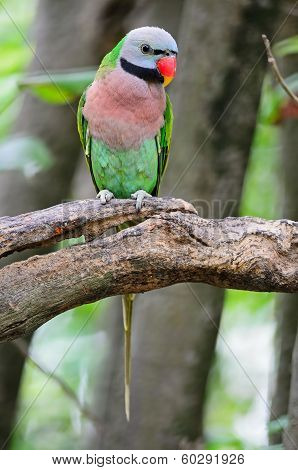 Red-breasted Parakeet