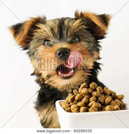 Yorkshire puppy eating a tasty dog food