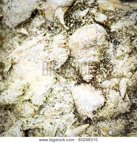 Fosil Shell