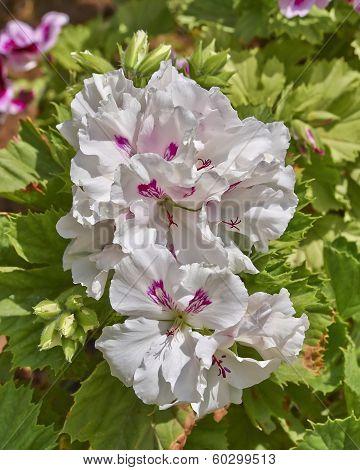 pelargonium flowers closeup, natural background
