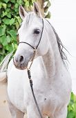 Portrait Of Gray Purebred Arabian Stallion poster