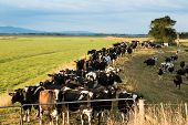 picture of herd  - Herd of cows waiting on a floodway bank for a change of pasture.