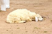 Sleepy Sheep In A Farm