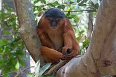 Male Western Red Colobus Monkey At Rest