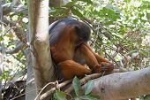 Sleeping Male Western Red Colobus Monkey