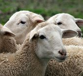 image of spring lambs  - Close up of a lamb - JPG