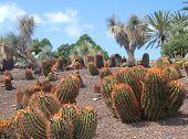 image of nopal  - cactus in garden in Fuerteventura Island landscape - JPG