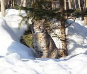 pic of bobcat  - bobcat sitting under the a tree on winter day