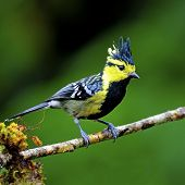 stock photo of tit  - Beautiful yellow bird Yellow - JPG