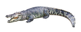 picture of gator  - Crocodile isolated on white background  - JPG