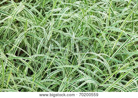 Natural Background From Wet Green Blades Of Carex