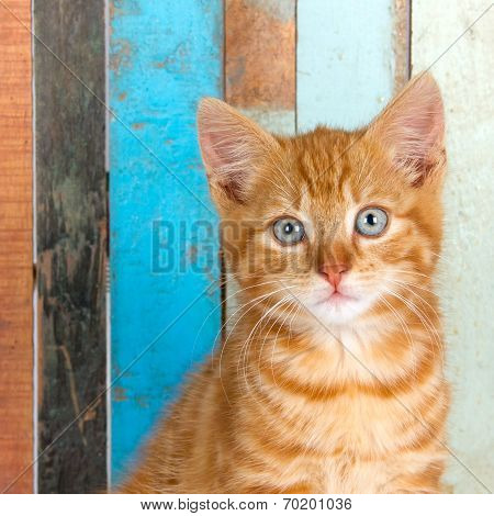 Ginger kitten, portrait