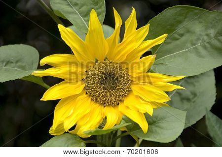 Sunflower, UK