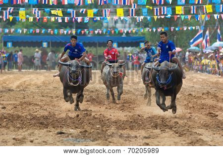 Water Buffalo Racing In Pattaya, Thailand