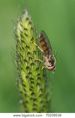 Howerfly (syrphidae) On The Stalk
