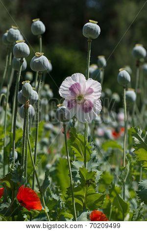 Detail Of White-violet Poppy And Poppy Heads In Poppy Field