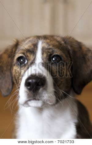 Female Mt Feist And Beagle Mixed Breed Puppy