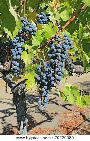 Grapes On The Vine In The Napa Valley Of California Vertical
