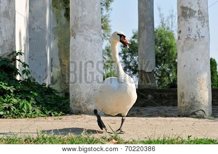 Mute Swan in the park.