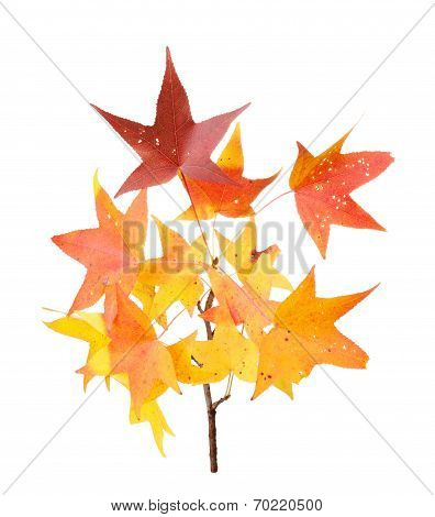 Fall Leaves Of Sweet Gum Isolated On White