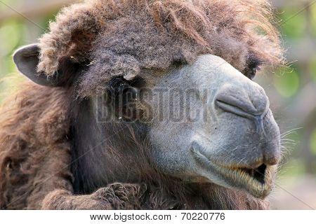 Portraif Of A Camel