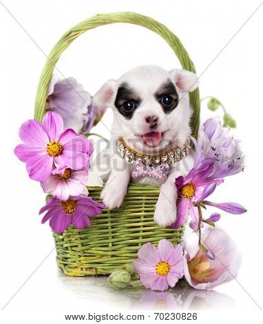 Chihuahua puppy portrait with pink flowers
