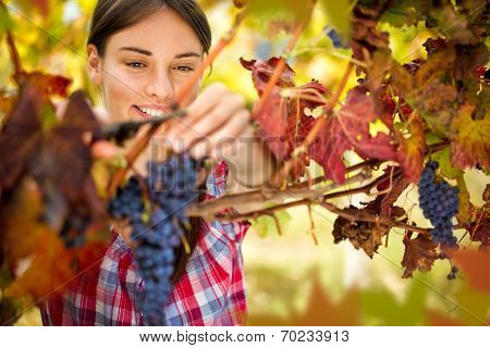 Smiling woman harvesting grapes in autumn vineyard