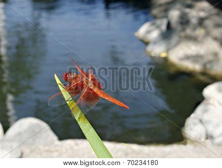 Flame Skimmer Or Firecracker Skimmer (libellula Saturata)