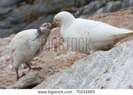 Female Snowy Sheathbill Or Chionis Albus Chicks That Feeds