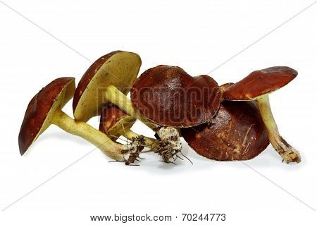 Slippery Jack Mushrooms (suillus Granulatus) Isolated On White Background