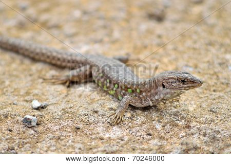 Atlantic Lizard. Lanzarote, Canary Islands.