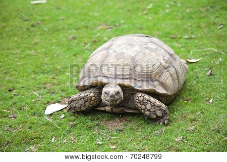 Centrochelys Sulcata Turtle In Green Grass