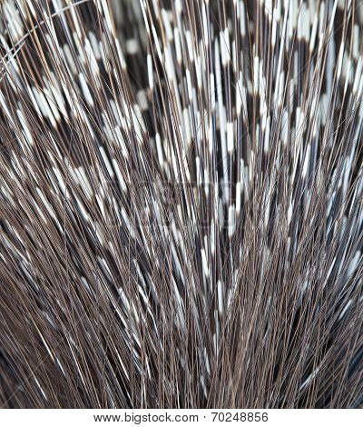 Close Up Of Porcupine Spines