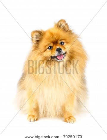 Pomeranian Dog Sitting On The Floor Isolated On White Background