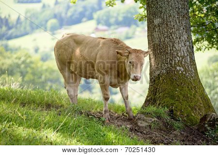 Veal In The Pastures