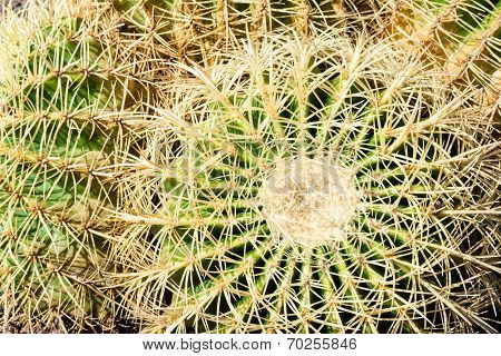 Close Up Cactus