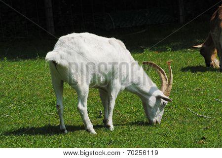 Grazing White Goat On A Farmland Pasture