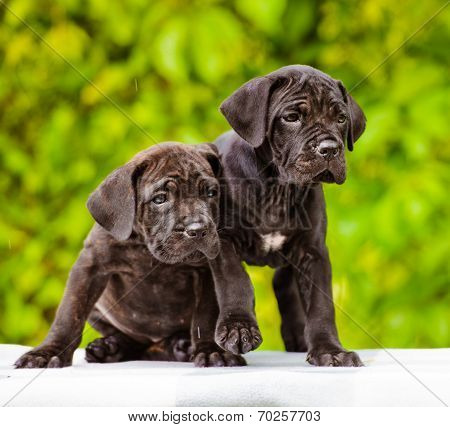 two cane corso puppies