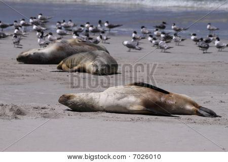 Seal Pup at Seal Bay. Kangaroo Island. Australia
