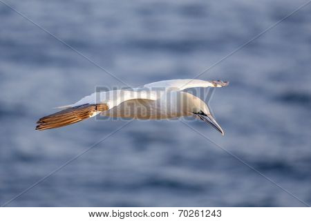 Northern gannet in flight
