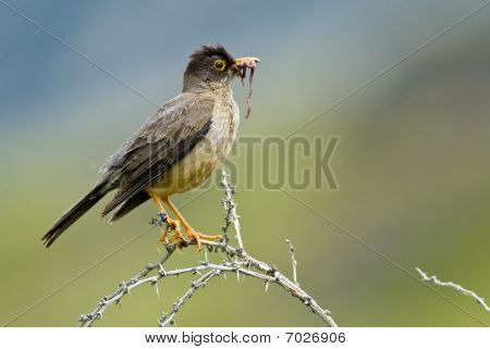 Austral Thrush And Worm