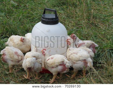 Farm raised chickens