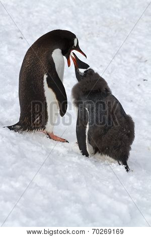Female Gentoo Penguins That Feeds The Chick Standing On Snow