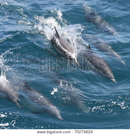 A pod of common dolphin