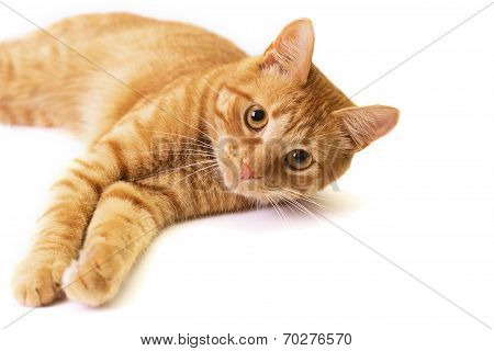 Red Cat Is Isolated On White.